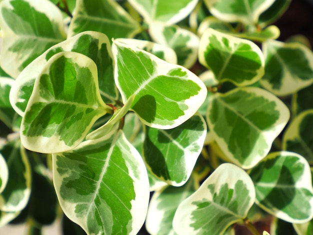 Mistletoe fig or mistletoe rubber plant scientific name is ficus deltoidea variegated