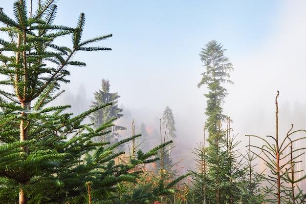 자연 보호구에서 산 경사면에 안개가 자욱한 너도 밤나무 숲.