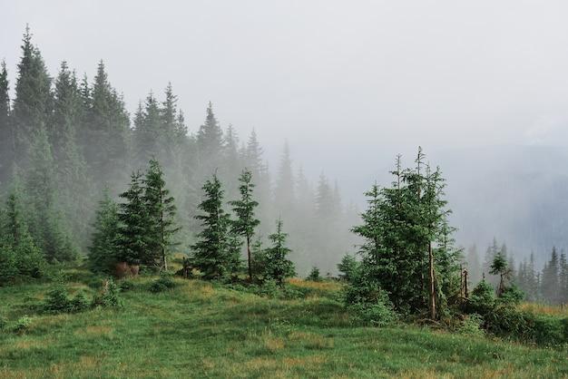 전나무 숲, 안개에서 튀어 나와 나무 꼭대기와 안개가 자욱한대로 산 풍경.