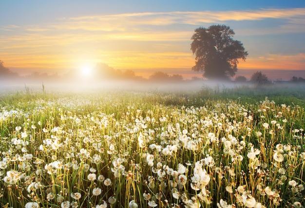 Туманный рассвет на красивом поле с одуванчиками. летний сельский пейзаж.