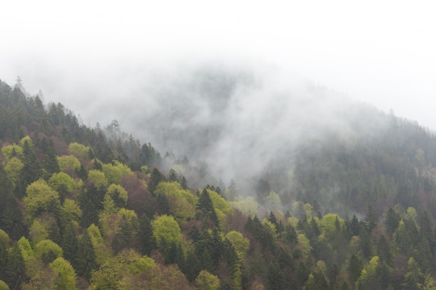 Misty foggy mountain landscape with fir forest in low lying cloud. carpathians.