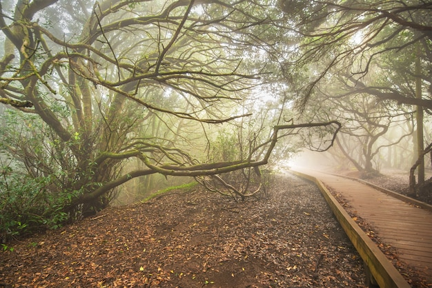 Misty forest in anaga mountains, tenerife, canary island, spain.