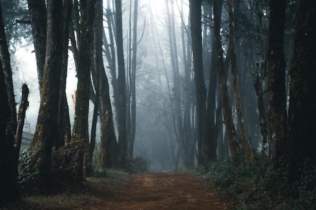 霧の森、冬の熱帯林の霧と松の森、霧と松