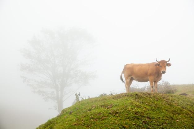 산의 푸른 잔디에 야생 암소와 안개 낀 풍경