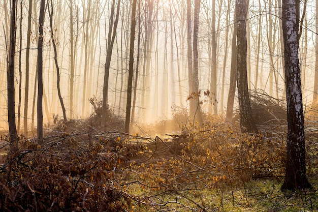 A misty morning in the autumn forest, light penetrates through the fog_