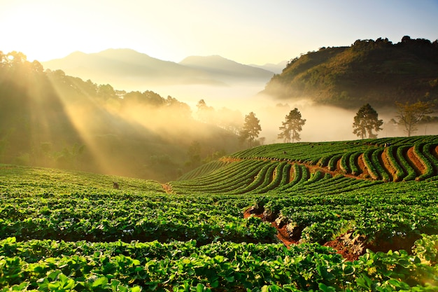 Misty morning in strawberry plant at doi ang khang mountain, chiang mai thailand