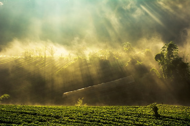 Misty morning sunrise in strawberry garden at doi angkhang mountain  chiangmai  thailand