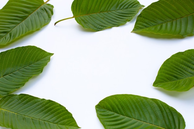 Mitragyna speciosa、白い背景の上の新鮮なクラトムの葉で作られたフレーム