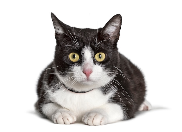 Mixed-breed cat looking at camera against white background