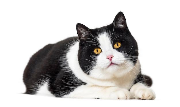 고립 된 앞에 누워 혼합 된 유형 고양이