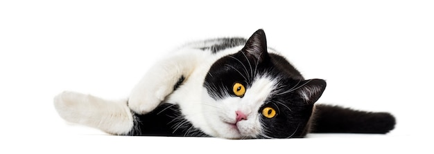 Mixed breed cat lying on side isolated