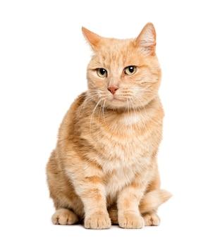 Смешанная кошка сидит перед белой поверхностью