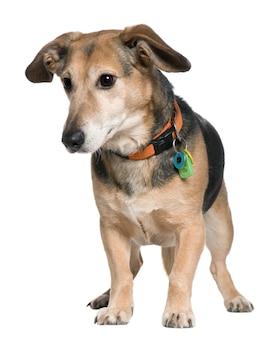 Смешанная собака, 7 лет, стоит перед белой стеной