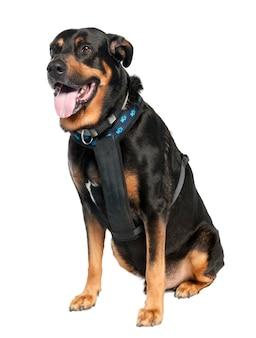 ドーベルマン犬とジャーマンシェパードの雑種犬