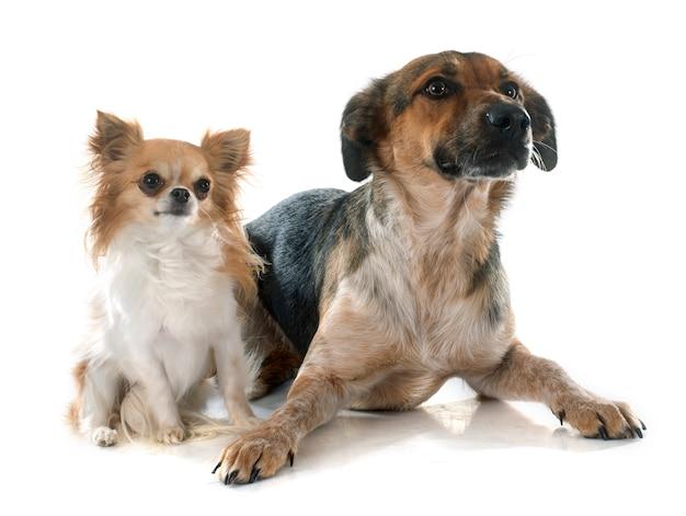 Mixed-breed dog and chihuahua