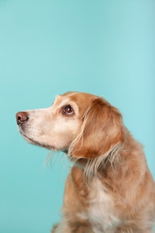 Mixed breed dog looking aside isolated on blue