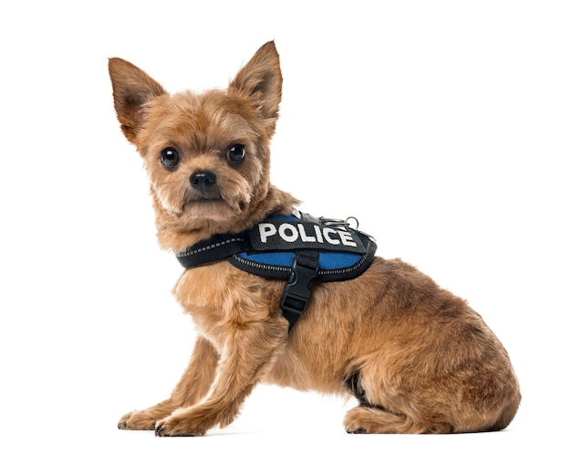 Mixed breed dog with a police security jacket sitting, isolated on white