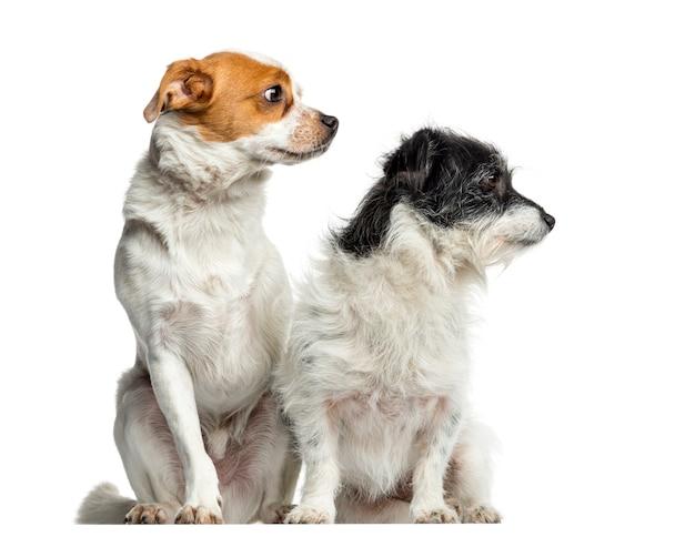 座って目をそらし、白で隔離の雑種犬