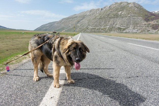 Mixed breed on the road in mountain