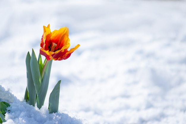 Mixed color tulips under spring snow in april. abnormal precipitation in the spring