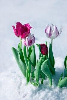 Разноцветные тюльпаны под весенним снегом в апреле