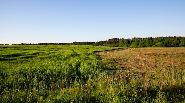 Смешанный лиственный и хвойный лес, растущий возле травы на поле, часть травы скошена для сена, летний пейзаж