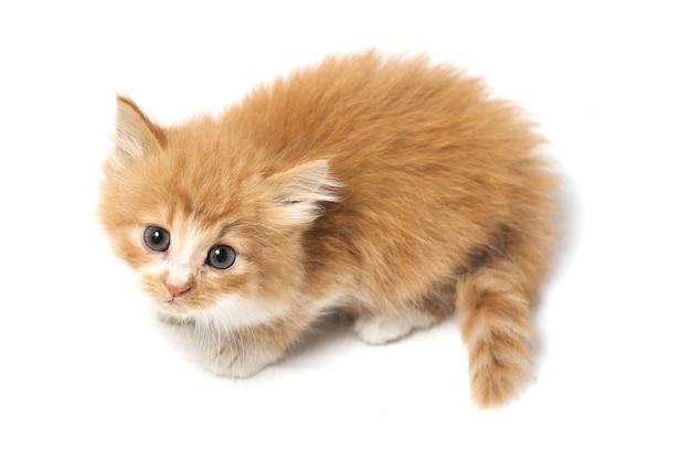 分離された混合の国内オレンジの子猫猫