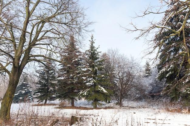 Смешанный лес с лиственными деревьями и хвоей в зимний сезон, пейзаж в солнечную морозную погоду