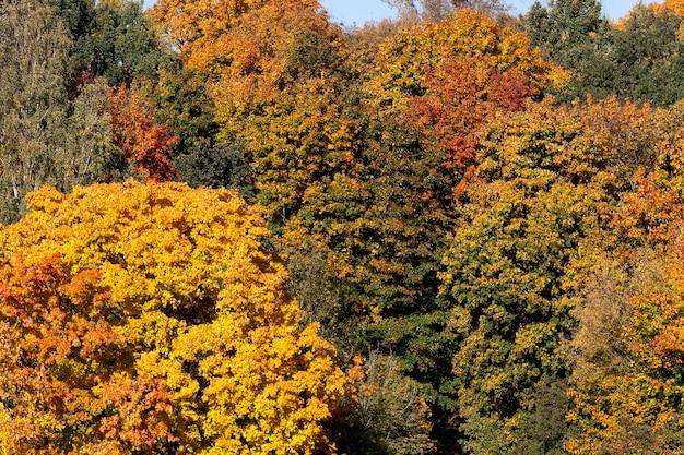 여러 가지 색의 나무가 섞인 숲이 햇빛을 비추고 9 월 가을 시즌부터 큰 잎이 내리기 시작합니다.