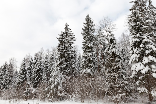Mixed forest with spruce in the winter season in the snow, winter season of the year in the forest