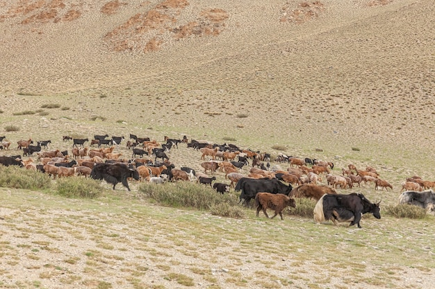 Смешанное стадо яков, овец и коз пасется в горной долине, алтай, монголия.