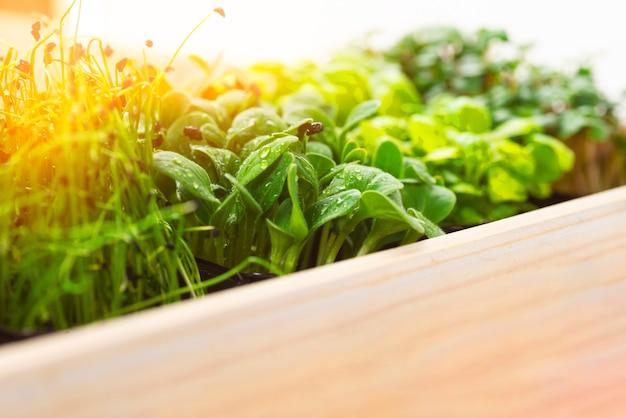 흰색 나무 상자에 자라는 트레이에 혼합된 마이크로 그린. 양파, 바질 및 무의 미세 채소, 우리는 미세 채소를 재배합니다. 마이크로그린 납품