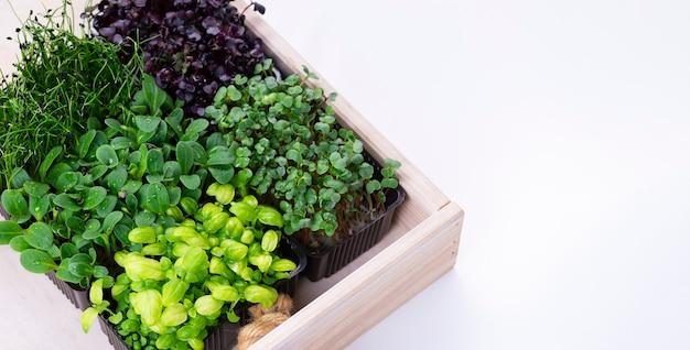 흰색 나무 상자에 자라는 트레이에 혼합된 마이크로 그린. 양파, 바질 및 무의 미세 채소, 우리는 미세 채소를 재배합니다.