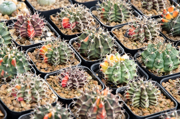 Mixed succulents or cactus. small cactus in pots to be sold.