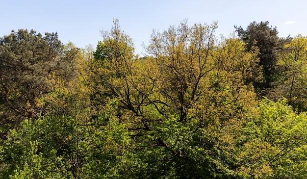 Смешанные деревья в лесу весной, на лиственных деревьях появляется молодая листва