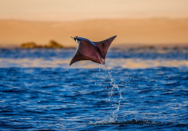 Mobula ray is jumping in the background of the beach