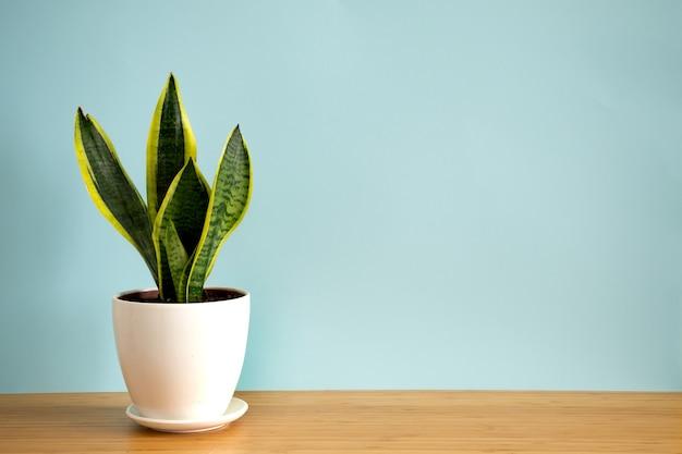 파란색 배경에 꽃뱀 식물인 sansevieria trifasciata를 복사 공간이 있는 배너를 비웃습니다. 여름 실내 식물과 도시 정글 개념.