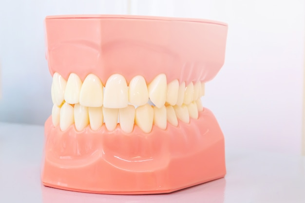 Model of the oral cavity, jaw model for stomatologic clinics.