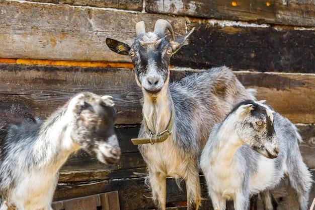 Современные животные, милый козел, отдыхающий во дворе на ферме в летний день, домашние козы, пасущиеся в п ...