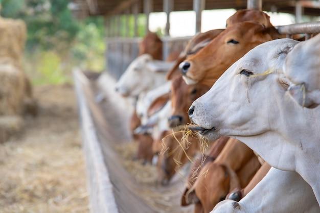 현대식 농장 외양간, 젖소, 집 소가 위치에서 사용됩니다.