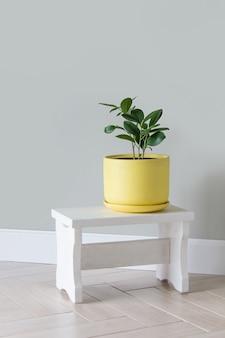 방에 있는 노란 냄비에 현대적인 녹색 식물 ficus. 현대 가정 정원 구성 세련되고 최소한의 도시 정글 인테리어입니다. 식물학 가정 장식