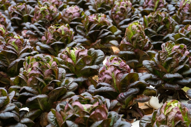 灌漑システムでサラダを栽培するための近代的な温室。成長する植物の産業規模。