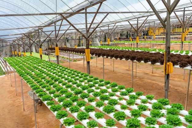관개 시스템으로 샐러드를 재배하기위한 현대적인 온실. 식물 재배의 산업 규모.