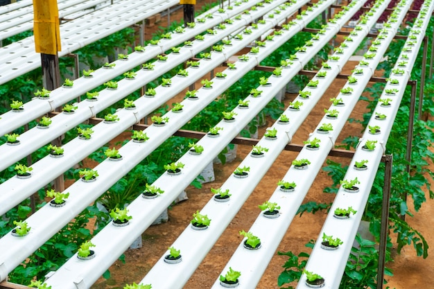 Modern greenhouse for growing salads with irrigation system. industrial scale of growing plants.