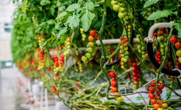 Современная теплица с томатными растениями.