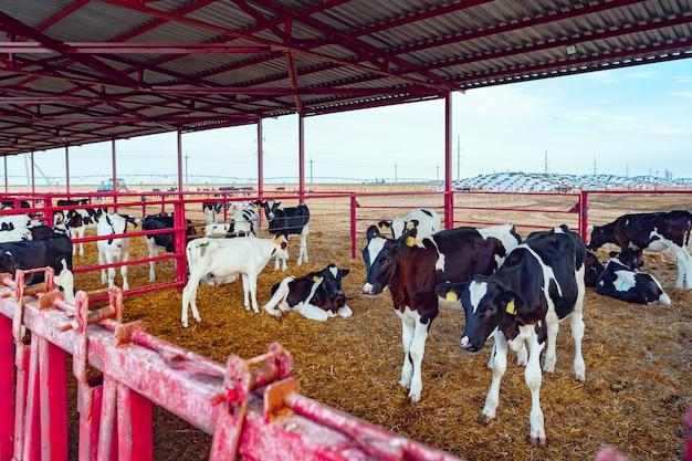 乳牛の群れがある現代の屋外牛舎農場