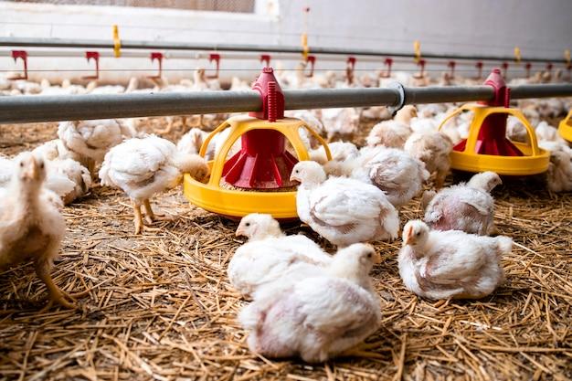 자동 급이 시스템과 닭 무리를 갖춘 현대적인 가금류 농장.