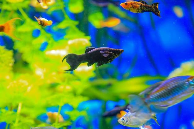 Моллинезия черная плавает на фоне водорослей и других рыб в аквариуме