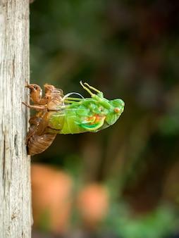 Линька цикады