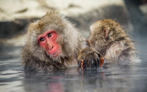 ママと赤ちゃんのニホンザルは温泉の水に座っています。日本。長野。地獄谷野猿公苑。
